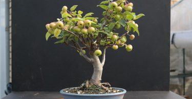 Bonsai Malus pommes